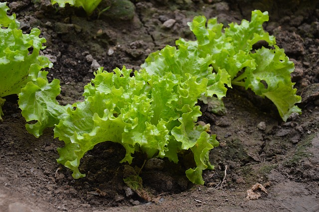 Growing Your Own Salads
